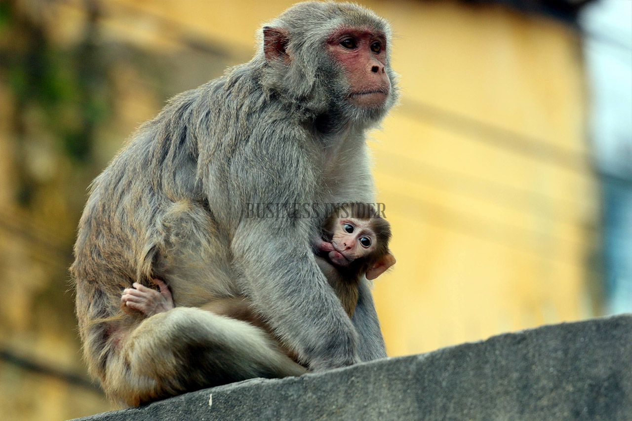 Baby monkey hanging from its mothers arms