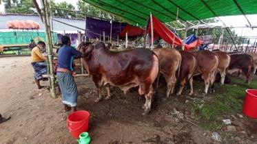 110,000 cattle heads sold in Ctg thru online market