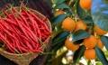 Indian orange, chilli get GI tag