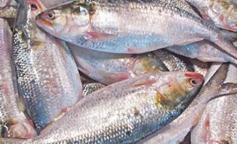 Govt extends deadline for hilsa export to India until Nov 5