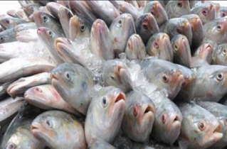 Govt allows export of 2,520 more tonnes of hilsa to India
