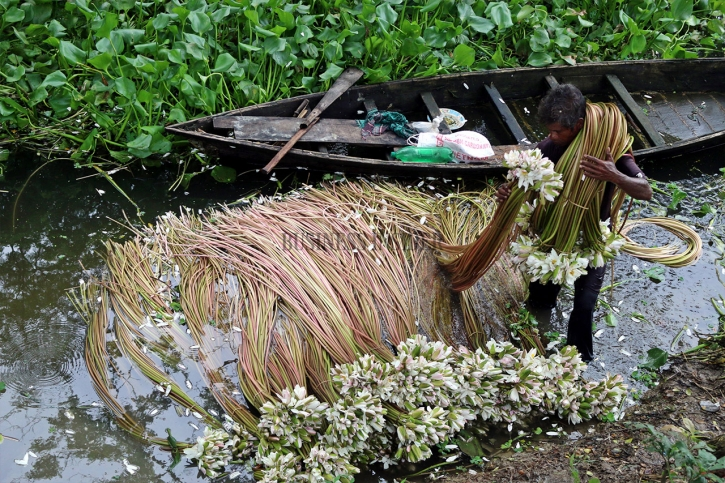 In Pictures: Waterlily farming