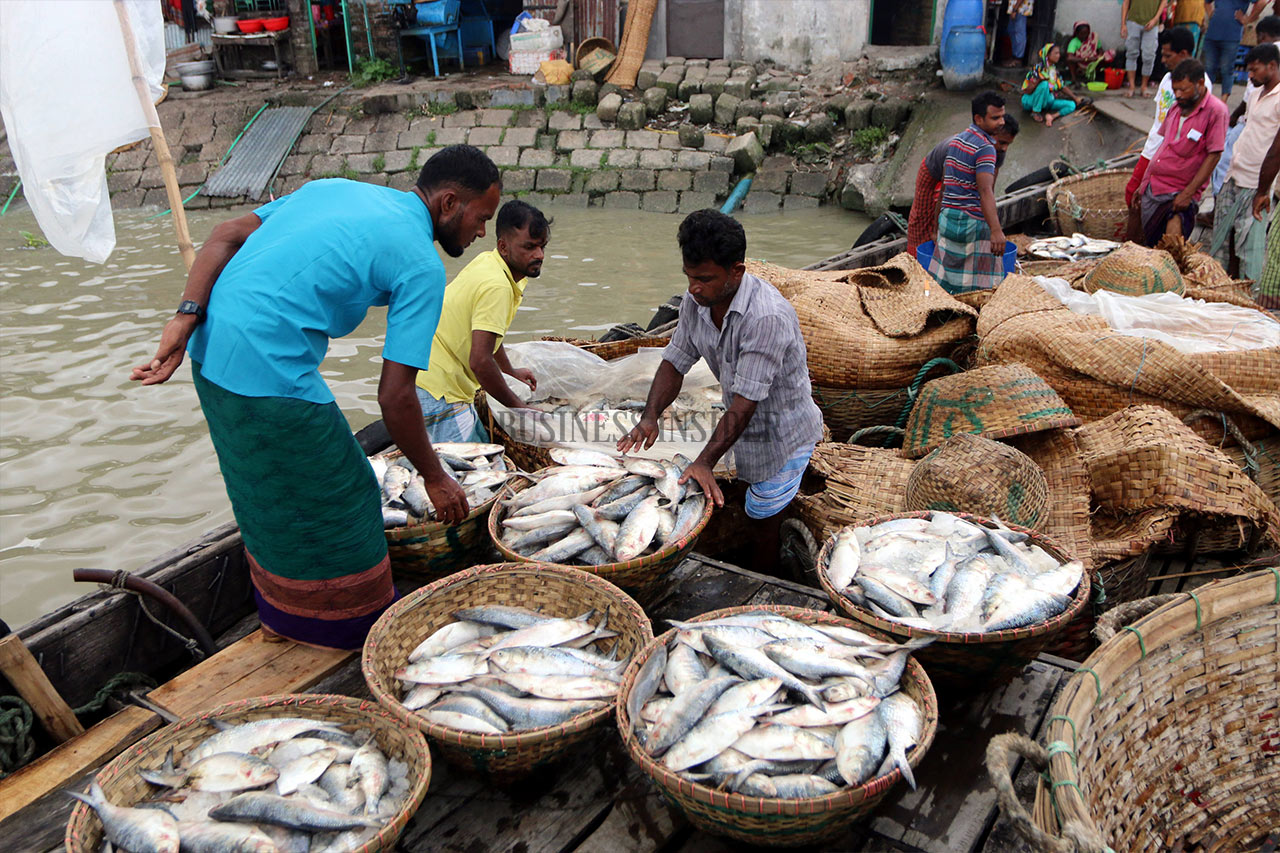 Fishermen return from river with trawler filled with Hilsa fish.